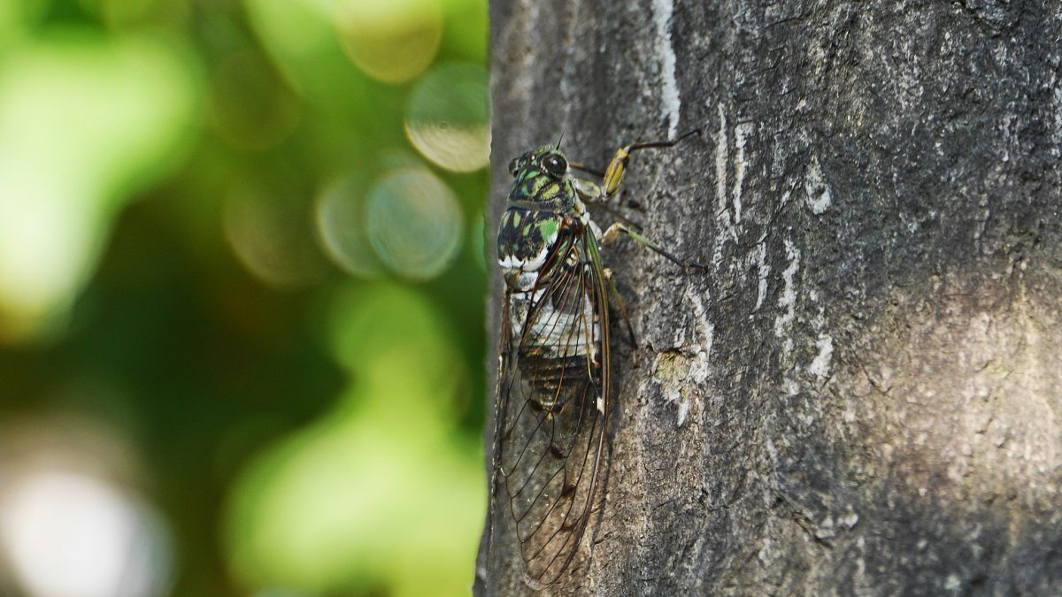 Prime Numbers in Nature: Cyclical Cicadas